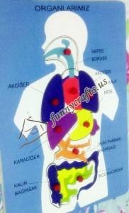 human body organs puzzle